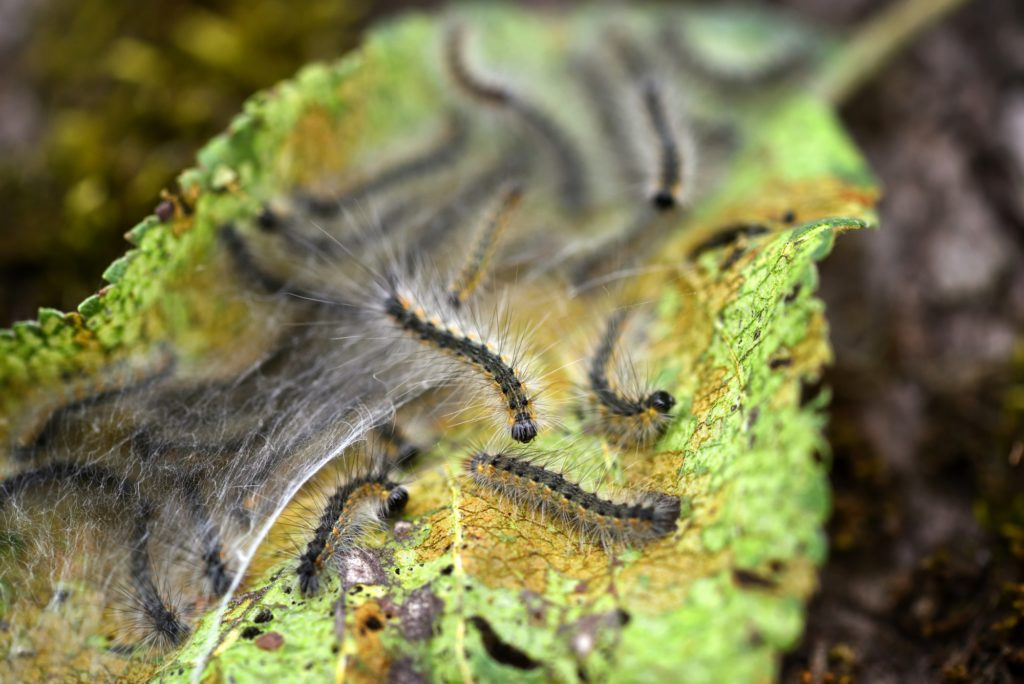 Caterpillars of the Aporia crataegi (black-veined white) eating